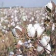 """Move follows crop failure in 7 districts that caused huge losses to cotton growers BS Reporter 