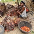 "GRAIN et al. | 05 May 2016 | Videos (Photo: Antoshananarivo) A new video shows how rural women in West Africa are working to protect traditional palm oil production in <a href=""http://worldfamilyonline.org/video-west-african-women-defend-traditional-palm-oil/#more-'"" class=""more-link"">more »</a>"